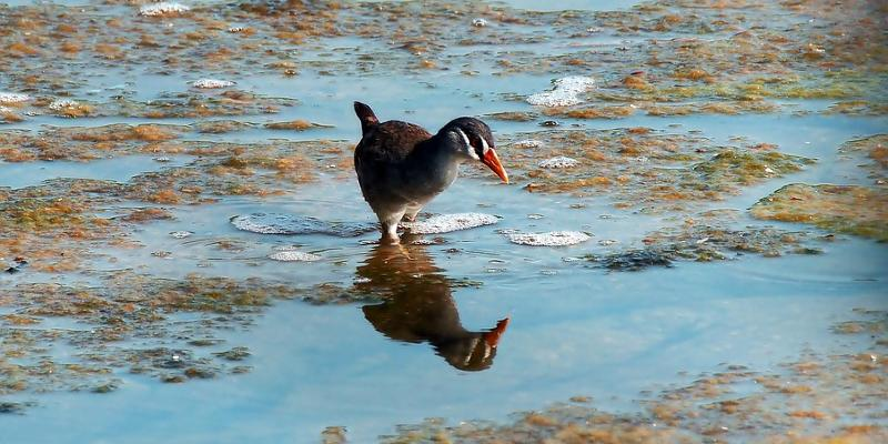 Marsh crake in water with reflection